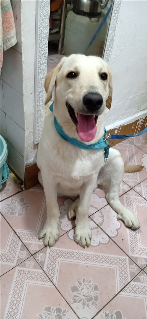 拉布拉多7个月大,疫苗全部已打,健健康康,因工作原因不能经常照顾,希望转给爱狗人士,狗贩子勿扰!