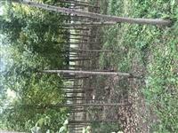 本人有大量银杏树,直径5到10公分。价格便宜,量大更优惠。联系电话18294213145