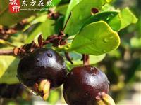 【东方在线精选】新鲜采摘巴西樱桃35元一斤市区送货上门,不打农药~