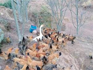 粮食鸡出售