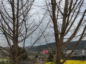 银杏树出售