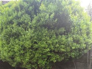 黄杨木,竹柏,樟树出售