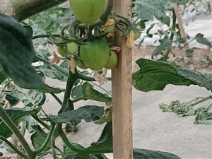 千禧圣女果,樱桃小番茄即将大量上市