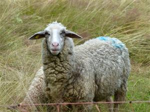 羊粪,山羊,绵羊出售