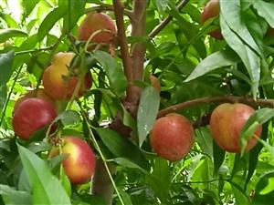 文殊镇兴农果蔬基地的桃子熟了