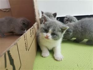 宠物猫小猫咪蓝猫找主人
