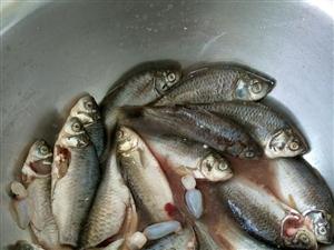 急購野生鯽魚煲湯