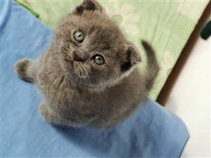 蓝猫幼崽出售