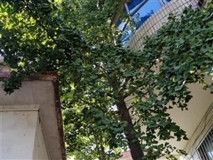 两棵银杏树出售