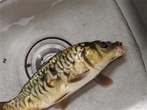 垂钓荷塘生态鱼