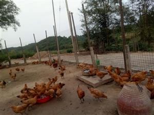 農村自家散養本地雞