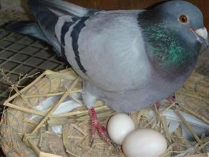 粮食鸽子蛋