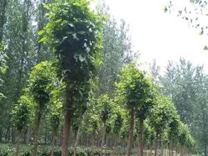 白蜡树,梧桐13033704923
