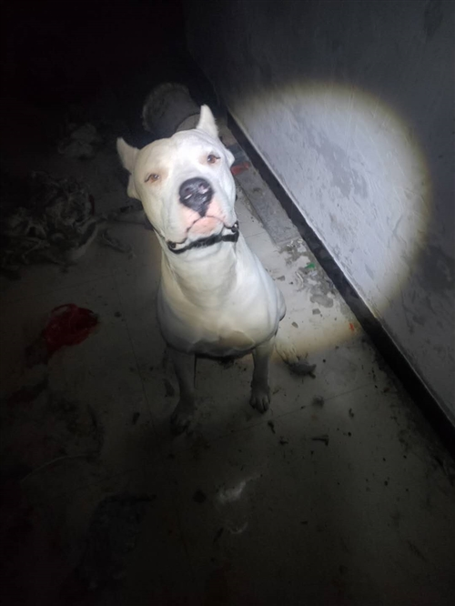 杜高犬公,一岁了,因家庭原因无法饲养,现低价转让,电话同微信19959329655