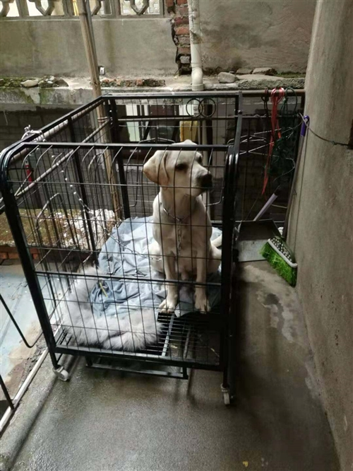 出售一条拉布拉多八九个月大,公的 疫苗狂犬都打过了,因地方太小了,所以没办法养合适价格的话卖掉,很...