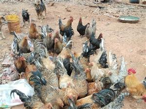 出售本地花螺鸡,自家散养胶头35元一斤