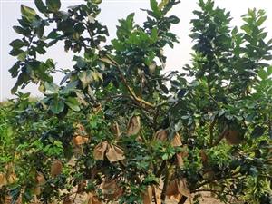 儋州市南丰镇南茶村30亩三红柚子园转让
