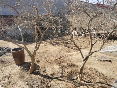出售自家石榴树