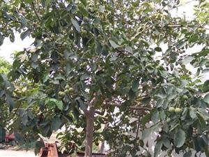 岀售核桃树