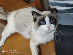 布偶公猫出售