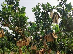 儋州市南丰镇有30亩三红蜜柚转让