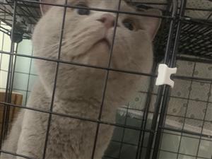 英短蓝猫领养