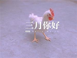 白公鸡是自己养的,凤翔区内3只以上可以免费送