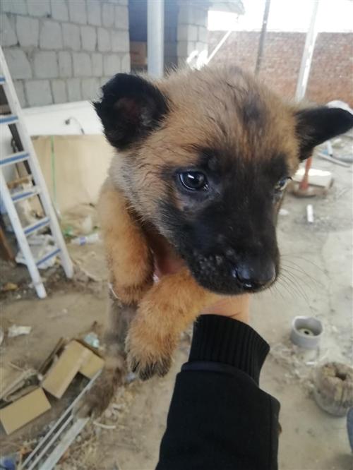 出售比利时马犬价格便宜13589455800
