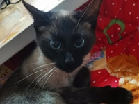 出一只泰国暹罗猫?? ,有喜欢养宠物猫,致电 13974545238 微信同号
