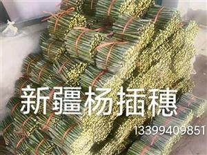 出售山杏苗和新疆杨插穗