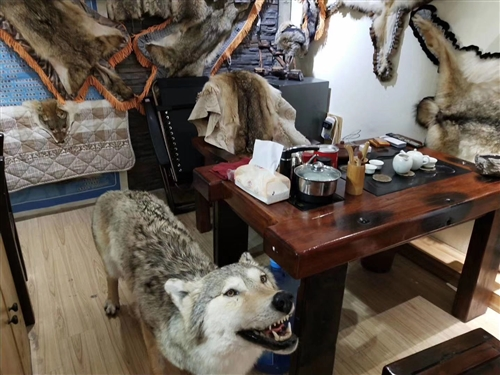 真狼标本,代友出售,需要可以联系