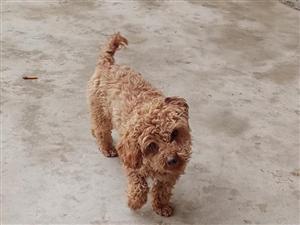 我想买个泰迪母狗狗