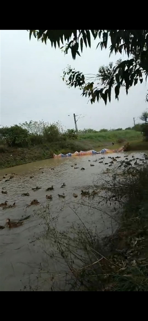出售放养鸭夹江黄土周边包送,联系电话13330916507