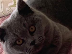 五个月大的英短蓝猫出售