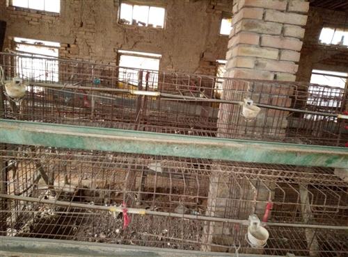 杜沙出售鸡笼160个,八成新,20元一个,早联系带水槽,料槽