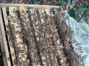 大地蜂业小蜜蜂种
