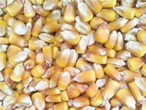 常年出售养殖玉米,白豌豆