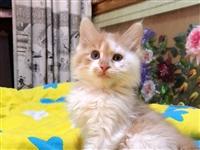 出售长白橘.白猫