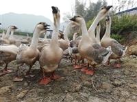 出售农家自养原生态大青鹅10——23斤不等,价格美丽