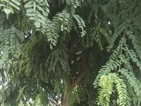 三洞大桥处还有皂角树