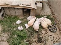 自家養的小白兔,一共有二十多只,一只35元,瓜州縣瓜州鎮三工村一組自提 ,聯系電話131021050...