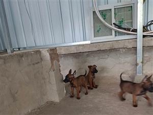 纯种马犬幼犬出售