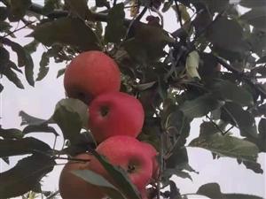 苹果已成熟,客商这边走