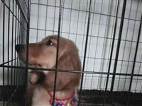 现出一只三个月大的金毛妹妹 **针打了八月十八打第二针 因家庭原因无法照顾 希望能遇到一个爱狗人士 ...