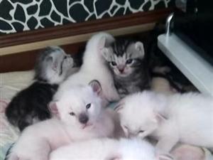酒泉家庭猫舍