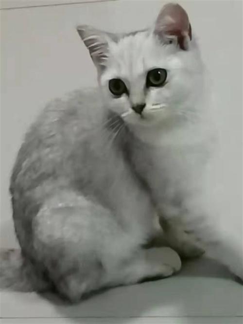出一只银渐层,三个多月,因为要学习照顾不过来,真心喜欢猫咪的来。具体私聊?qin1321249093...
