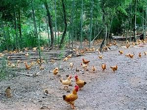 散养土鸡  生态养殖