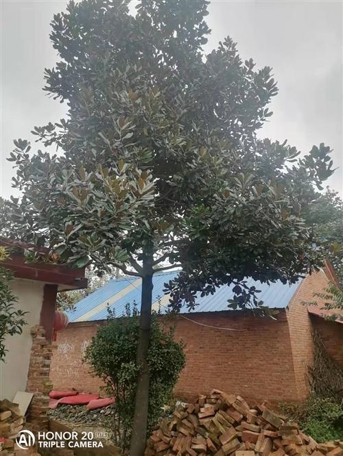急售两棵绿化广玉兰树。大的圆径70公分,小的圆径30公分。低价出售